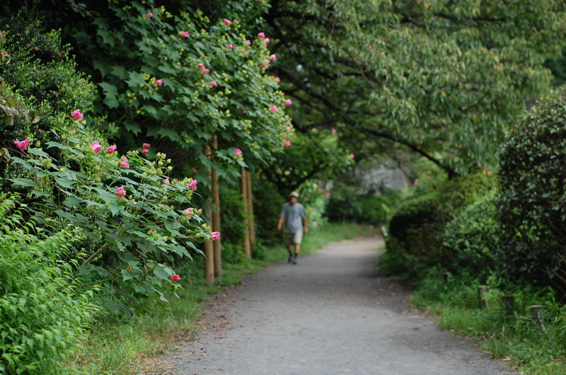 芙蓉の咲く遊歩道