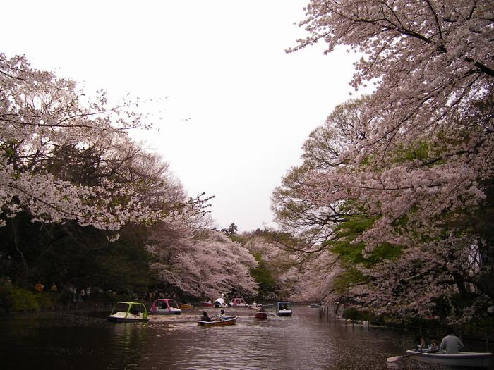 井の頭桜2