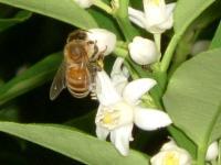 金柑の花&蜂