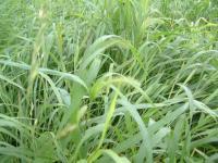 猫じゃらしの草