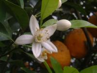 スルガエレガントの花