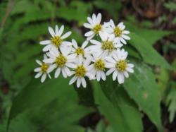 鳳凰山 白い花