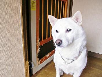 白柴犬のアイさん。