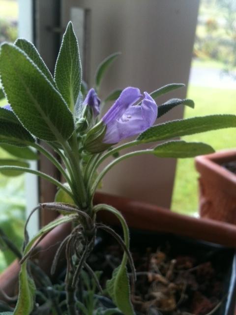 Sage Flowers 021912