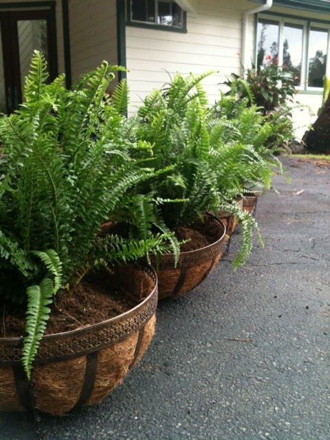 Planting Ferns in Hanging Baskets 2