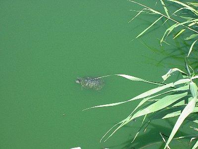 ひょうたん池亀01