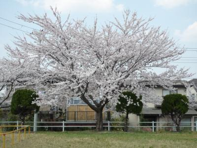 公園の桜 2009/4/13