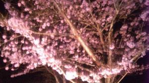 SBSH0081桜2