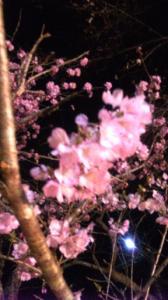 SBSH0080桜1