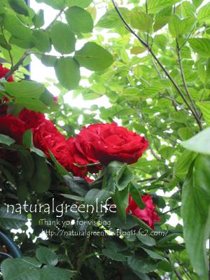 薔薇 つるばら red