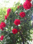 並んだ~並んだ~♪ つる薔薇が