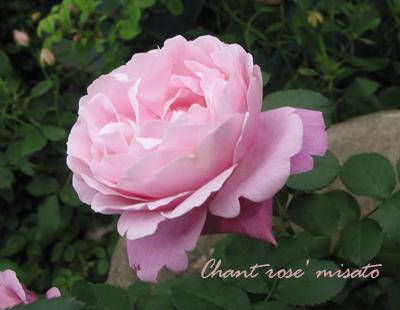 薔薇 シャンテ ロゼ ミサト