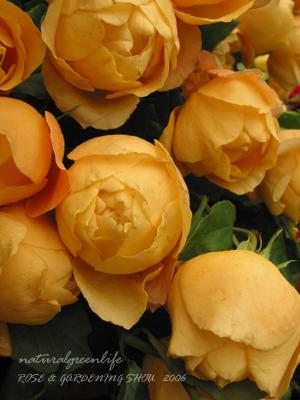 山吹色のバラ
