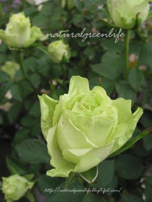 グリーンのバラ