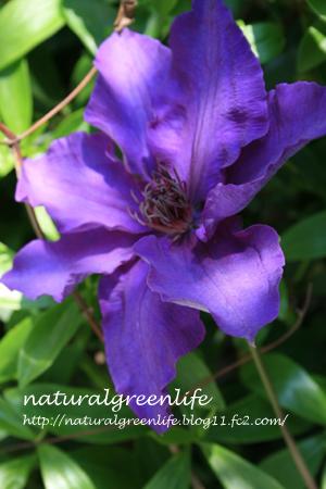 クレマチス 濃紫2