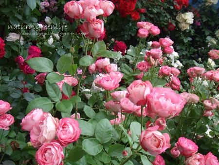 薔薇いっぱい!