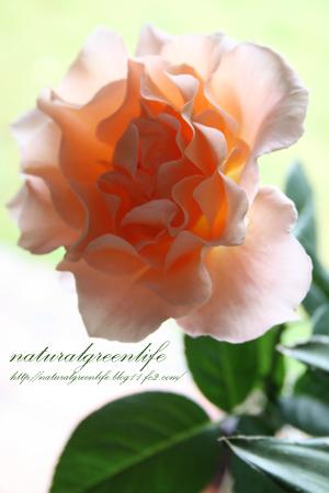 アプリコットオレンジ色の薔薇1