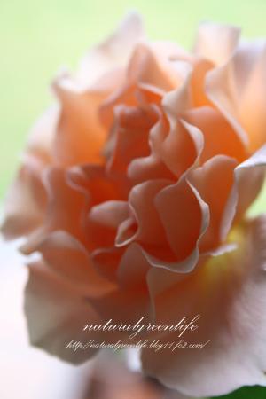 アプリコットオレンジ色の薔薇2