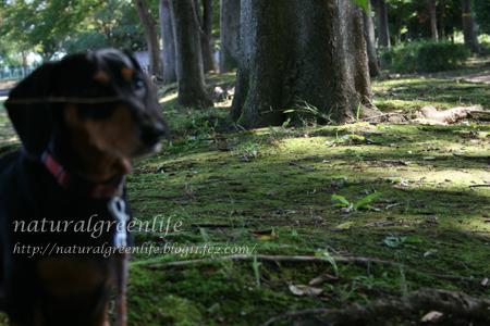 ケヤキの巨木とルビー