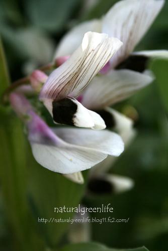 ソラマメの花