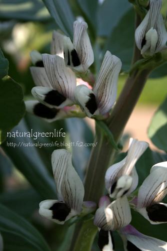 そら豆の花