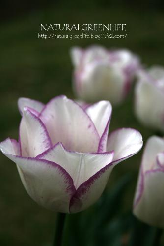 チューリップ シャーリー(紫)