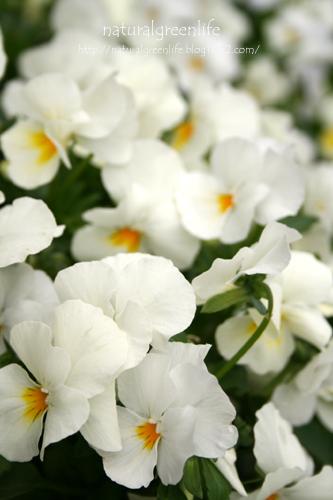 ビオラ(ホワイト)