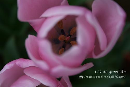 tulip pink2