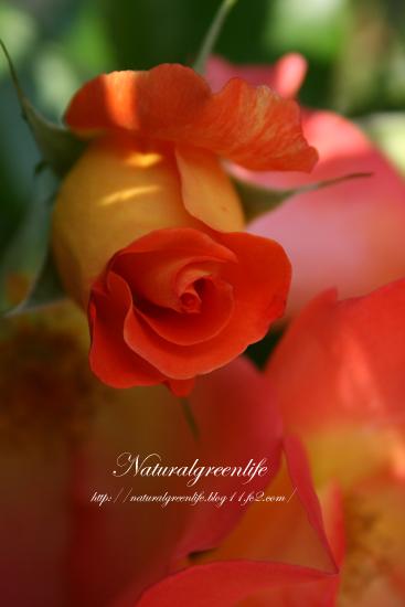 薔薇 プレイボーイ
