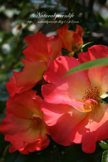 薔薇 プレイボーイ2