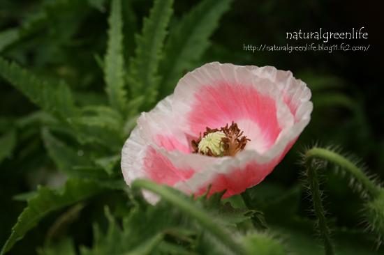 ポピー(ピンク×ホワイト)1