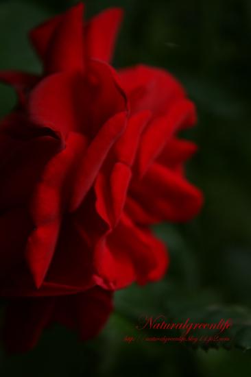 アダルトな薔薇の横顔