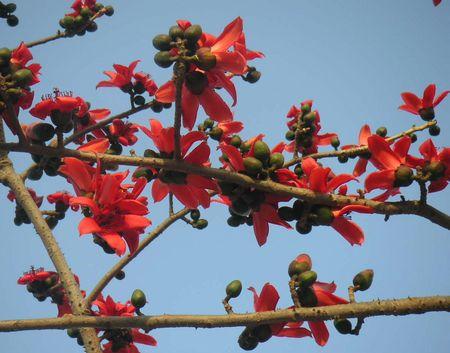 cottontree-flower.jpg
