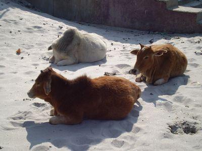 cow-rishikesh.jpg
