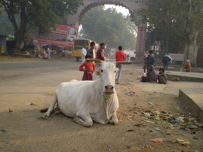 cow-vvgate.jpg