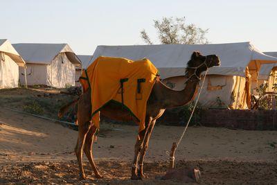 osian-camel1.jpg
