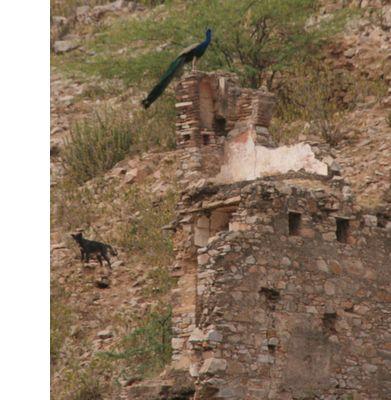 ss-peacock1.jpg
