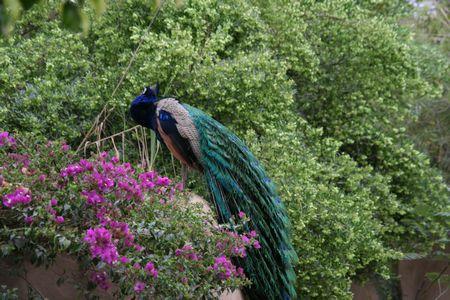 ss-peacock2.jpg