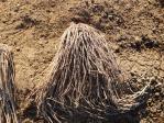グリーンアスパラガスの根