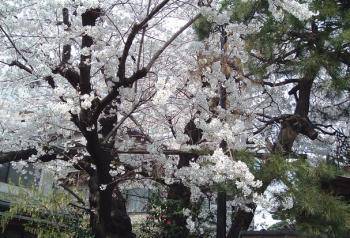 0329千駄木桜2