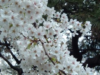 0329千駄木桜