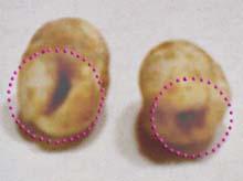 トカゲの卵