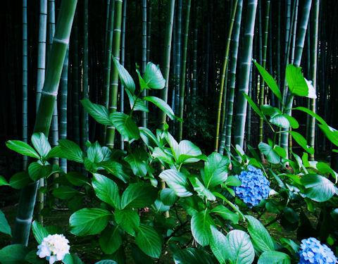 竹とあじさい