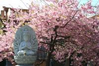 大慈寺の河津桜 1