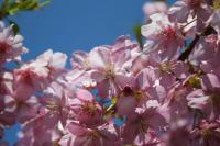大慈寺の河津桜 2