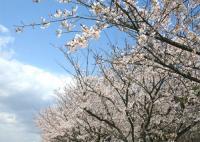 慈愛の桜並木