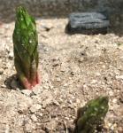カサブランカの芽
