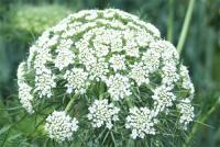 パセリの花です