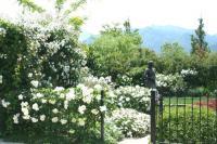 白い薔薇1