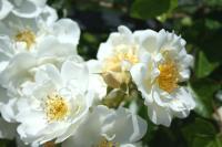 白い薔薇2